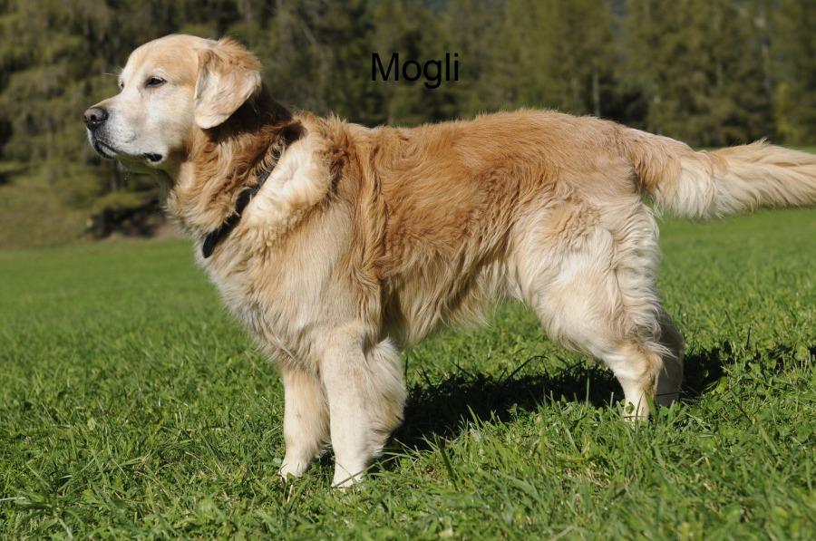 Labrador Welpen Vom Zuchter Oder Privat Hunde Haustier Anzeiger